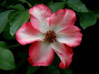 Franciscan Rose
