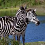 """Two Headed Zebra"" by davidfosterlay"