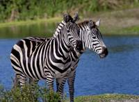 Two Headed Zebra