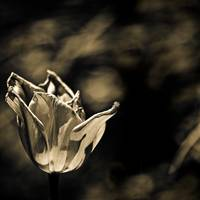 Another Tulip in sepia
