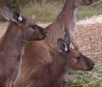 Wallaby Mob