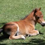 """BabyMiniatureHorse_22"" by SBCountyImages"