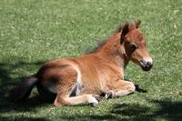 BabyMiniatureHorse_22
