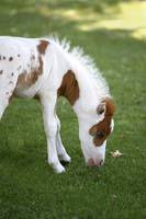 Baby Miniature Horse_8155