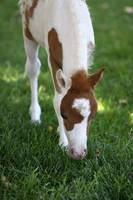 Baby Miniature Horse_8162