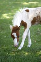 Baby Miniature Horse_8160