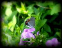 The Little Gray Butterfly 2