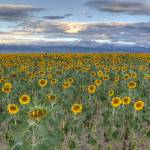 """Sunflowers"" by scottvail"