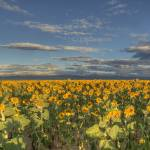 """Sunflowers at Dawn"" by scottvail"