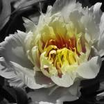 """Flowering peony in the night garden"" by garthglazier"