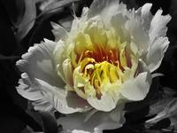 Flowering peony in the night garden