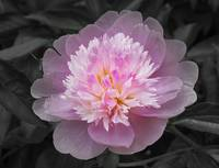 Flowering spring peony in pink and grey