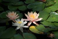 Water Lillies #3