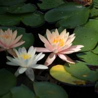Water Lillies #3 Art Prints & Posters by Cindy Walker