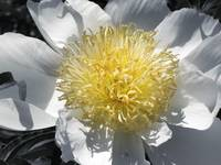 Flowering Peony in White and Grey