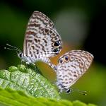 """Two Miami Blue Butterflys"" by davidfosterlay"
