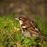 """Sparrow eating breadcrumbs"" by DamianSynnott"