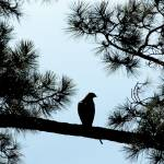 """Hawk Silhouette 3515"" by rayjacque"