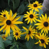 Bodacious Black-eyed susans Art Prints & Posters by carolyn grady