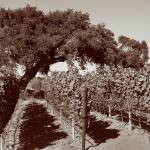 """OAK in Vineyard Panorama_Sepia"" by SBCountyImages"