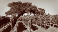 OAK in Vineyard Panorama_Sepia