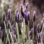 """Estate Vineyard Lavender_9016"" by SBCountyImages"