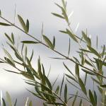 """Olive Branches on Estate Vineyard_8990"" by SBCountyImages"