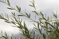 Olive Branches on Estate Vineyard_8990