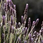 """Estate Vineyard Lavender_9015"" by SBCountyImages"