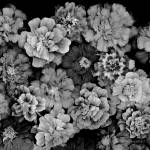 """Marigolds_Galore bw"" by DocPixel"
