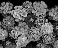 Marigolds_Galore bw