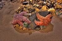 Starfish on Cannon Beach Oregon