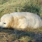 """Grey Seal Pup"" by NatureandWildlife"