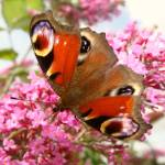 """""""Peacock Butterfly"""" by NatureandWildlife"""