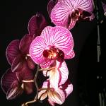 """Orchid photo"" by lisacatherwood"