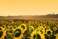 Sunflowers sunrise