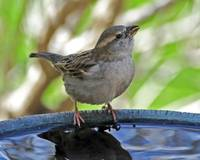 House Sparrow at the Bird Bath