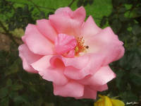 Pink Rose by the Cuautitlan Cathedral - 2