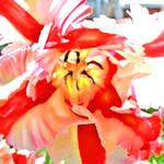 """parrot tulip"" by pietrastone"