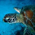 """Zanzibar Sea Turtle"" by JamesBWells"