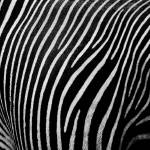 """Zebra III"" by Erlib"