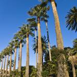 """Palmiers - Palm trees - Beaulieu - French Riviera"" by Jean-Bernard-MICHEL"