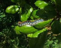 Caterpillar & Leaves