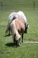 Two Adult Miniature Horses_8098