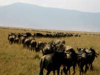 Migration in Ngorongoro Crater