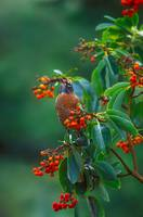 Madrona berries and Robin