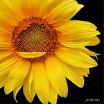 """Yellow Daisy"" by BrushandLens"