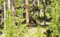 Lily Lake Colorado Bull Elk