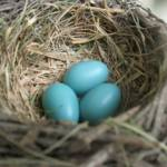 """Robins Eggs Nest 2"" by Marieelizabeth"