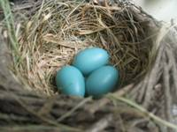 Robins Eggs Nest 2